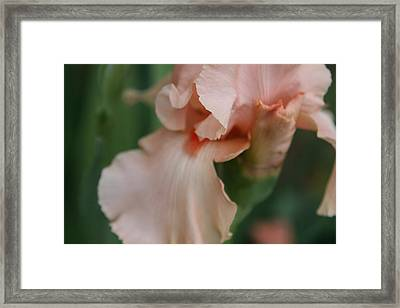 Salmon Colored Iris Framed Print by Debbie Sikes