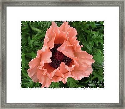 Salmon Colored Poppy Framed Print by Barbara Griffin