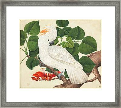 Salmon-crested Cockatoo Framed Print