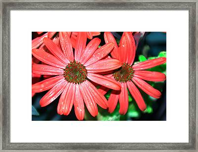 Salmon Daisy Framed Print by Aimee L Maher Photography and Art Visit ALMGallerydotcom