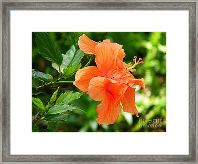 Salmon Hibiscus Framed Print