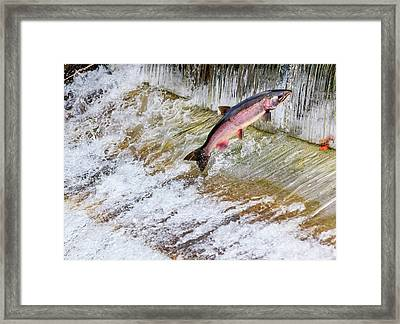 Salmon Jumping Issaquah Hatchery Framed Print