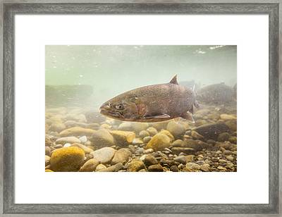 Salmon Portrait Framed Print