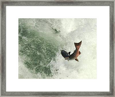 Salmon Run 2 Framed Print by Mamie Gunning