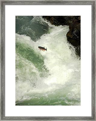 Salmon Run 5 Framed Print by Mamie Gunning