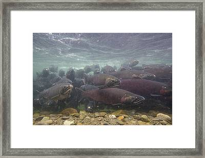 Salmon School Is In Session Framed Print