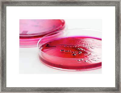 Salmonella Enterica Culture Framed Print by Daniela Beckmann