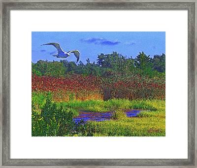 Salt Marsh Gull Framed Print