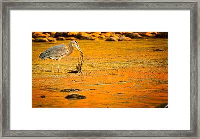Salt River Heron Framed Print by Kelly Gibson