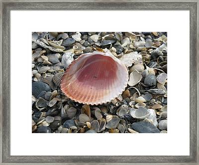 Salt Water Cockle Framed Print