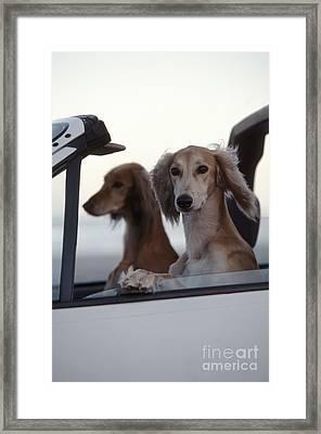 Saluki Dogs In Car Framed Print by Chris Harvey