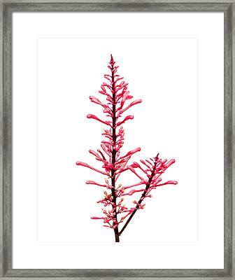 Salvia Red And Tall Framed Print