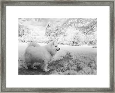 Samoyed In Ir Framed Print by Eric Peterson
