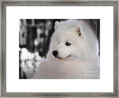 Samoyed Framed Print by Jai Johnson