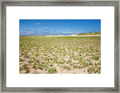 Samphire Growing On The Beach Framed Print by Ashley Cooper