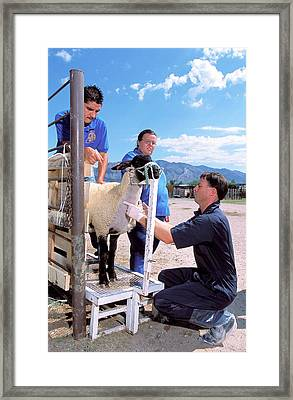 Sampling Sheep For Scrapie Test Framed Print