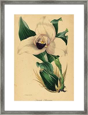Samuel Holden, Lycaste Skinneri, British Framed Print