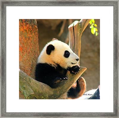 San Diego Zoo Panda Bear Xiao Liwu Framed Print