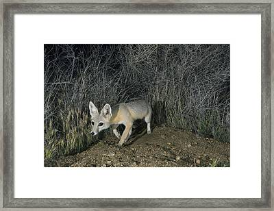 San Joaquin Kit Fox At Night Carrizo Framed Print by Kevin Schafer