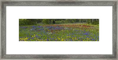 Sand Bluebonnet  Drummonds Phlox Framed Print by Tim Fitzharris