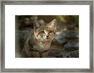 Sand Cat (felis Margarita) Framed Print