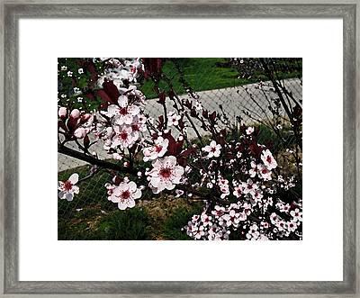 Sand Cherry Smudge Stick Framed Print
