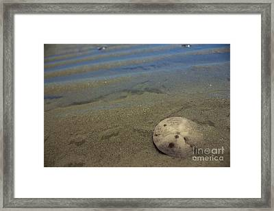 Sand Dollar Findings Framed Print