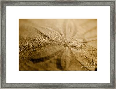 Sand Dollar  Framed Print by Micah May