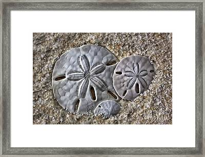 Sand Dollars 2106 Framed Print