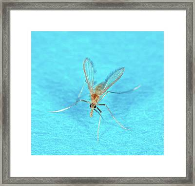 Sand Fly Framed Print by Stephen Ausmus/us Department Of Agriculture