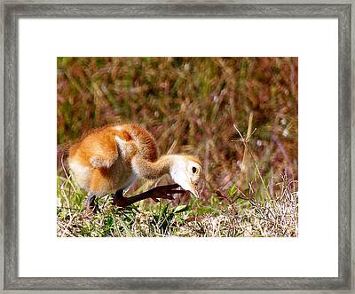 Framed Print featuring the photograph Sand-hill Chick Scratching  by Chris Mercer