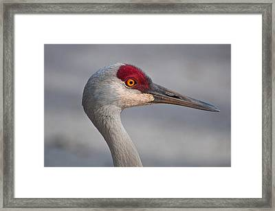 Sand Hill Crane Portrait Framed Print by Sabine Edrissi