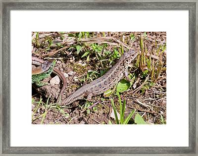 Sand Lizards Courting Framed Print