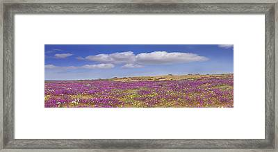 Sand Verbena On The Imperial Sand Dunes Framed Print