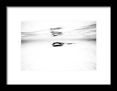 Stingray Framed Prints