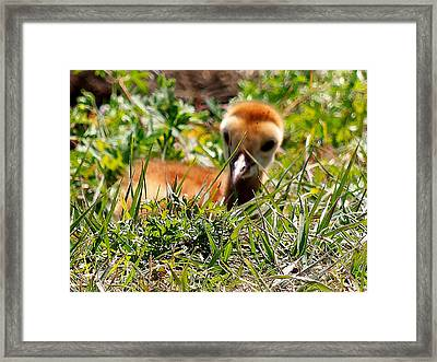 Framed Print featuring the photograph Sandhill Chick 005 by Chris Mercer
