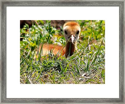 Framed Print featuring the photograph Sandhill Chick 006 by Chris Mercer