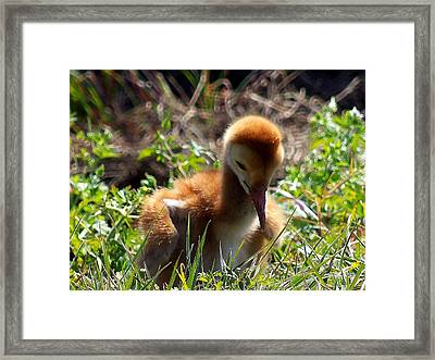 Framed Print featuring the photograph Sandhill Chick 007 by Chris Mercer