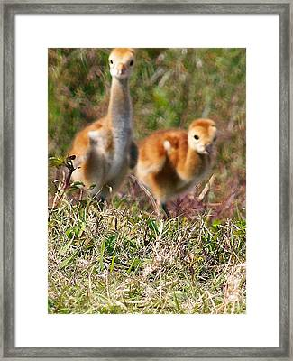 Framed Print featuring the photograph Sandhill Chicks by Chris Mercer