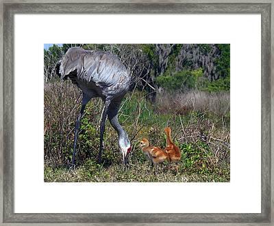 Sandhill Crane 033 Framed Print by Chris Mercer