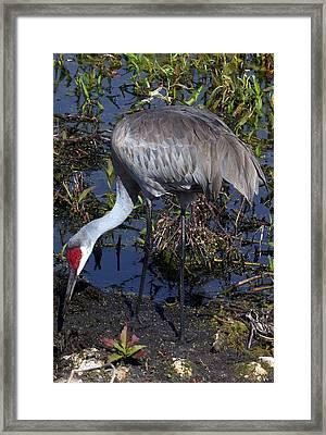 Sandhill Crane 035 Framed Print by Chris Mercer