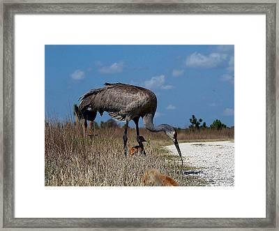 Sandhill Crane 037  Framed Print by Chris Mercer