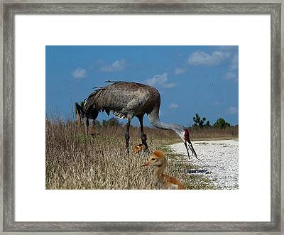 Framed Print featuring the photograph Sandhill Crane 038 by Chris Mercer