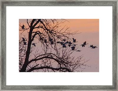 Sandhill Crane Across The Sky Framed Print by Jill Bell