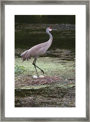 Sandhill Crane And Eggs Framed Print