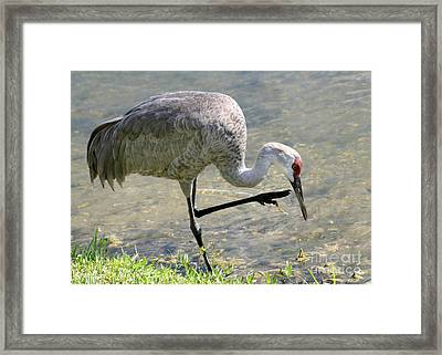Sandhill Crane Balancing On One Leg Framed Print by Sabrina L Ryan