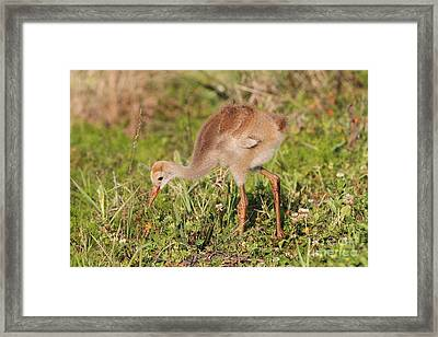 Sandhill Crane Chick Framed Print by Jennifer Zelik