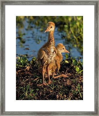 Sandhill Crane Colts On Nest, Grus Framed Print by Maresa Pryor