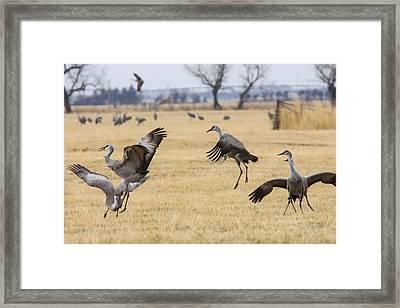 Sandhill Crane Dance Framed Print by Jill Bell