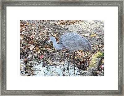 Sandhill Crane Feeding Framed Print